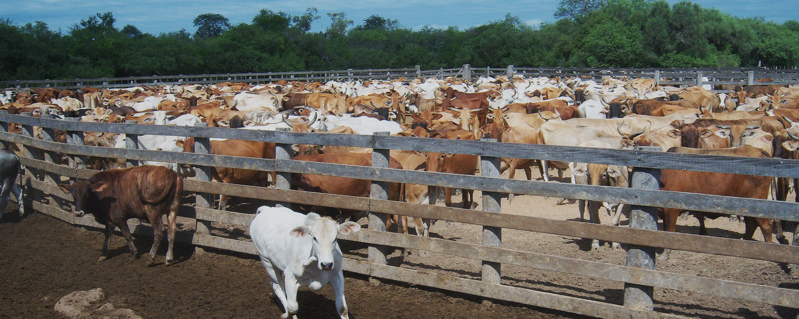 paraguay-cow-investment-opportunity