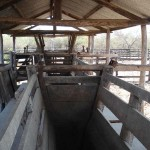 cattle-market-southern-connections