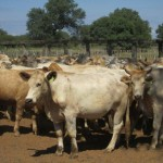 cattle-investment-paraguay