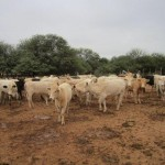 cow-investment-paraguay