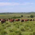 south-america-cow-investment
